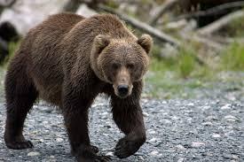 kodiak bear archives robin barefield
