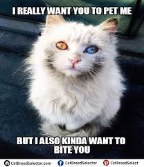 Angry Cat Meme - white cat memes cat breed selector