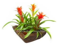 flowering house plants pictures