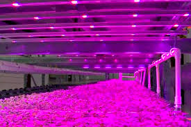 pink lights for room indoor vertical farm pinkhouses grow plants faster with less