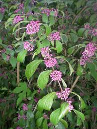 Jarvis House Deep Purple Flowering Shrubs In September At The