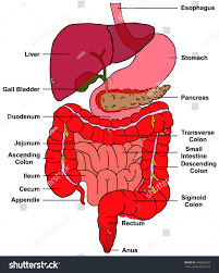 digestive system human body anatomy all stock illustration