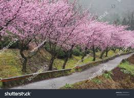 thirteen cherry blossom trees along side stock photo 196957961