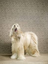 owning an afghan hound angel afghan hound 138th westminster kennel club dog show puppy