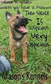 belgian malinois near me 20 best belgian malinois images on pinterest belgian shepherd