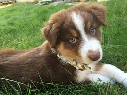 australian shepherd fun facts meet logan the adorably cute australian shepherd puppy 12 pictures