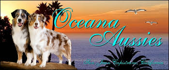 australian shepherd orange county oceana australian shepherds