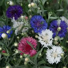 Bachelor Buttons Tall Double Mixed Color Bachelor Button Annual Seeds Centaurea Cyanus