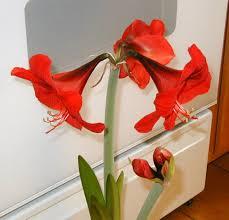 amaryllis flower amaryllis blooms beautifully in winter