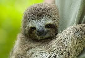 4 toed sloth sloth facts animal facts encyclopedia