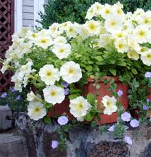 Flower Boxes That Thrive In by How To Grow Annual Flowers Annuals Gardener U0027s Supply