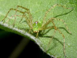 lynx spider wallpaper