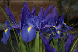 australian native plants with purple flowers plant cathyandchucky
