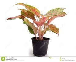 of the leafy plants scientific name is caladium bicolor