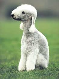 grooming a bedlington terrier puppy bedlington terrier aka bellingham washington terrier