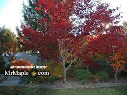 buy acer palmatum emperor 1 japanese maple mr maple buy