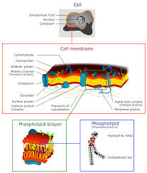 anatomy of a model cell image collections human anatomy learning