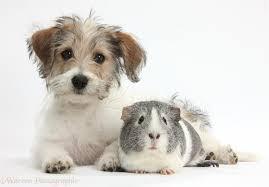 bichon frise cute pets cute bichon frise x jack russell puppy and guinea pig photo