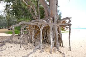 file neat tree roots at bellows park oahu hawaiian