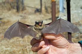 small bat the key to stopping ebola machine learning to track