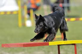 belgian shepherd x rottweiler belgian sheepdog dog breed information pictures characteristics
