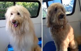 how to cut a goldendoodles hair grooming the labradoodle or goldendoodle