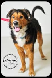 australian shepherd los angeles rescue los angeles ca australian shepherd australian cattle dog mix