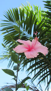 which state has a hibiscus 25 unique hibiscus ideas on pinterest hawaii flowers hawaii