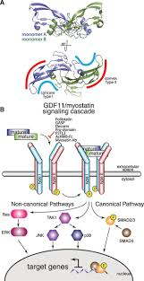 biochemistry and biology of gdf11 and myostatinresponse to walker