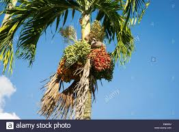 Decorative Trees In India Roystonea Regia Royal Palm Tree Leaf Abstract Andhra Pradesh