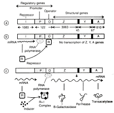 Genetic Map Gene Regulation Gene Technology