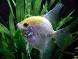 freshwater fish how to breed freshwater angelfish in home fish tanks