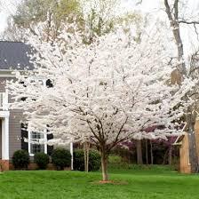 best 25 yoshino cherry tree ideas on cherry blossom