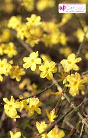 winter jasmine jasminum nudiflorum my perfect garden