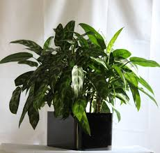 chinese house plants