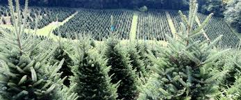 two ds nursery wholesale fraser fir christmas trees wholesale