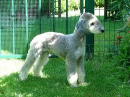bedlington terrier guide bedlington terrier