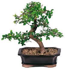 elm bonsai tree asian plants by brussel s bonsai