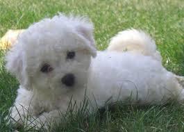 bichon frise cute dog cute bichon frise puppy on grey background photo wallpaper