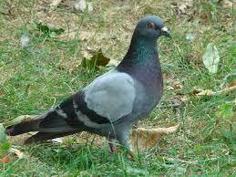 what do rock doves eat bob and sally u0027s back yard photos of birds