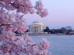 think spring dc u0027s cherry blossom season 2014 loews hotel