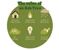 about your ash tree cb emerald ash borer