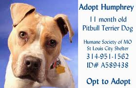 american pitbull terrier breeders st louis talking dogs at for love of a dog adopt humphrey a young pitbull