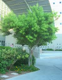 outstanding small trees for las vegas gardening on mars