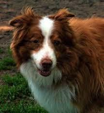 5 year old australian shepherd i found arph 13261 colt on australian shepherd dogs