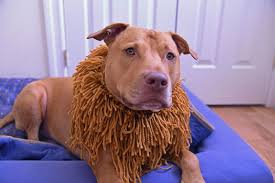 lion dogs how to make a lion costume for your dog