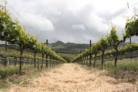 wine growing vineyards