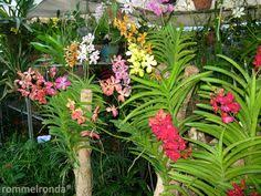vanda orchid caring for your vanda orchid gratitude and gardens
