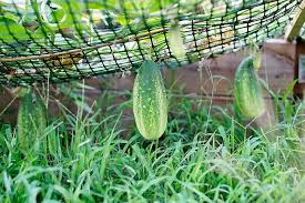 How To Grow Cucumbers On A Trellis Deformed Cucumber And Other Friday Thoughts B Britnell