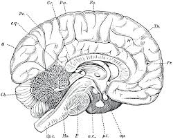 Brain Anatomy Coloring Pages Human Brain Anatomy Coloring Page And Brain Coloring Page